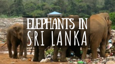 Elephants in Sri Lanka featured image