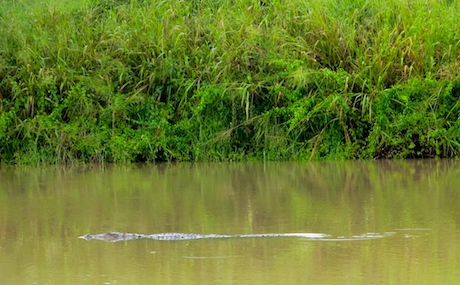 Our patience was rewarded by seeing this magnificent crocodile!