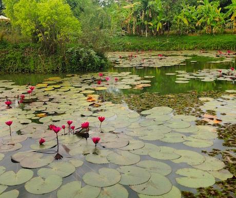 lily pond at vegan friendly hotel Battambang Resort