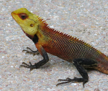 crested tree lizard at Kurumba Maldives