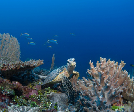 See turtles, fish, coral and much more at Six Senses Laamu