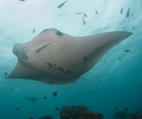Swimming with mantas in the Maldives is one of the reasons we love this part of the world.