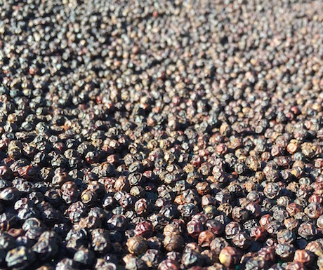 Kampot peppercorns drying in the scorching sun