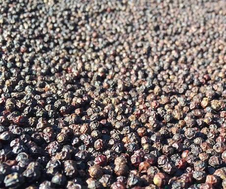 Kampot peppercorns drying in the scorching sun