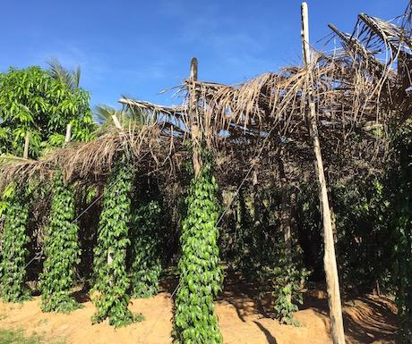 Kampot pepper vines growing on poles