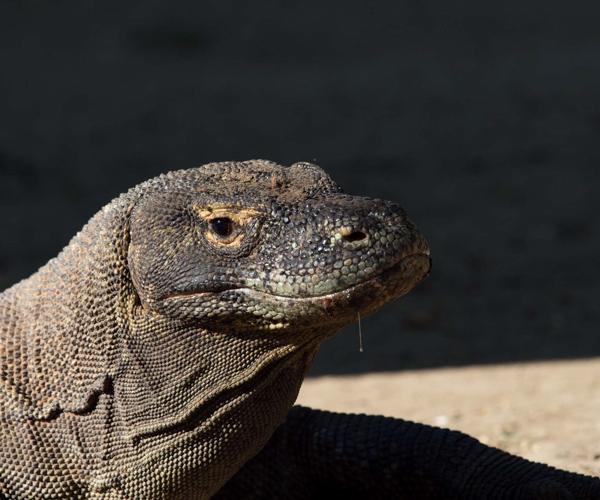 Wunderpus Liveaboard Komodo Dragon